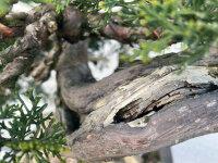 Juniperus chinensis Itoigawa ca. 40 Jahre