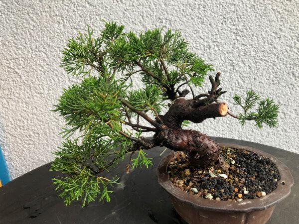 Juniperus chinensis Itoigawa 02