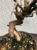 Juniperus chinensis Itoigawa 01